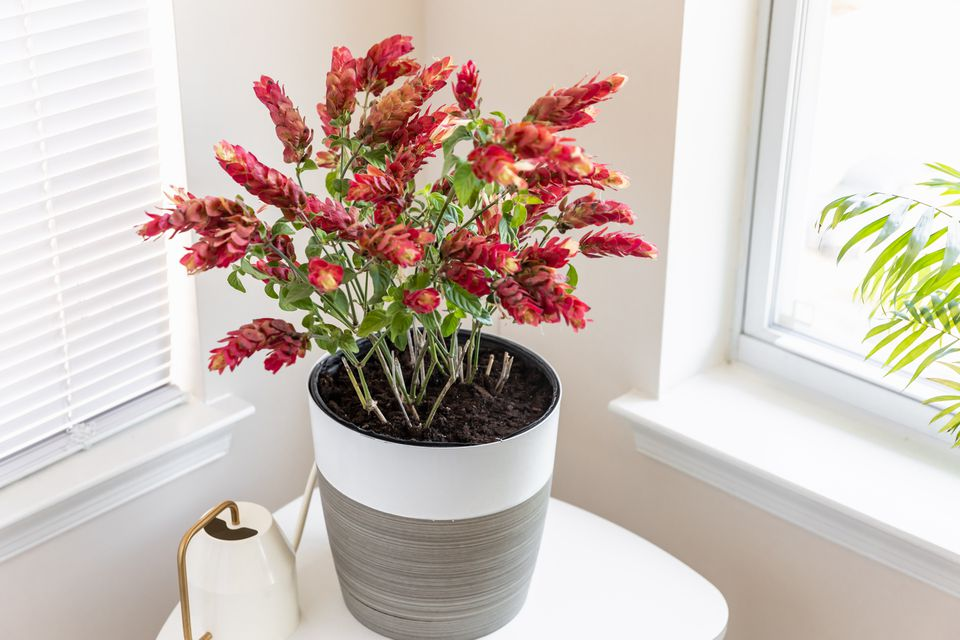 Justicia brandegeana shrimp plant with red bracts hanging from the stem tips in white and gray pot
