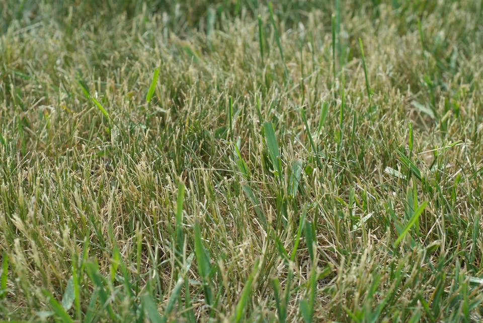 Dry lawn with crabgrass