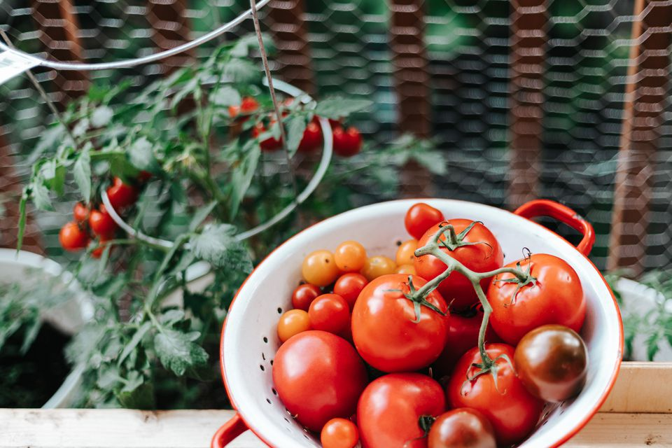 harvested tomatoes and plant in the background