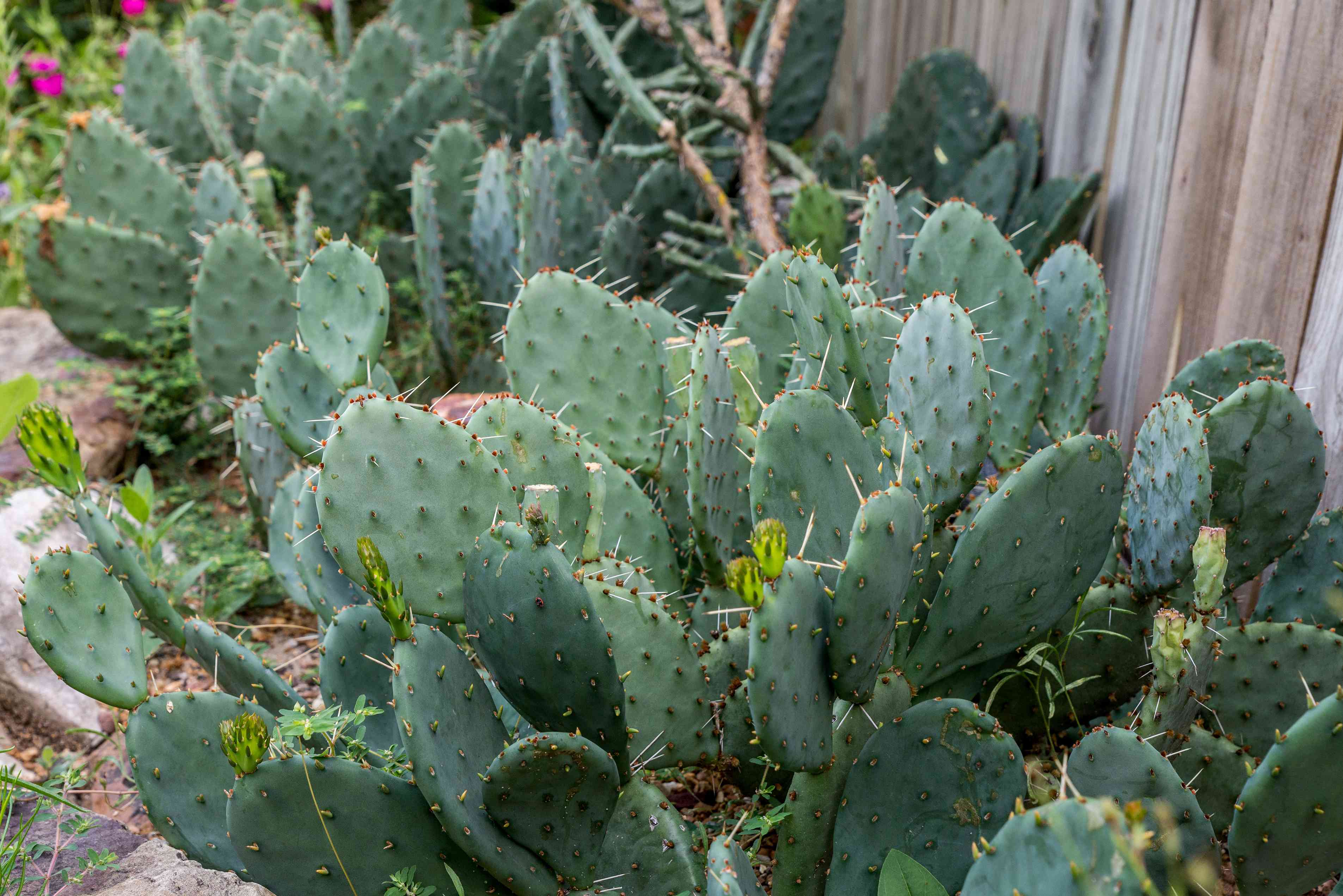 prickly pear used in a garden landscape