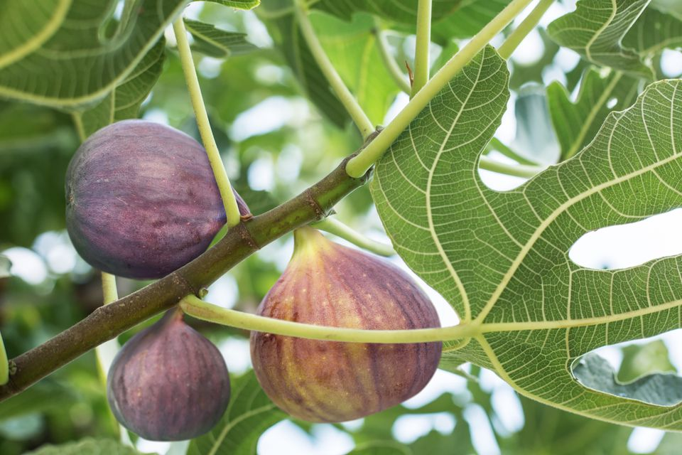Fig tree with ripe fruit, close up