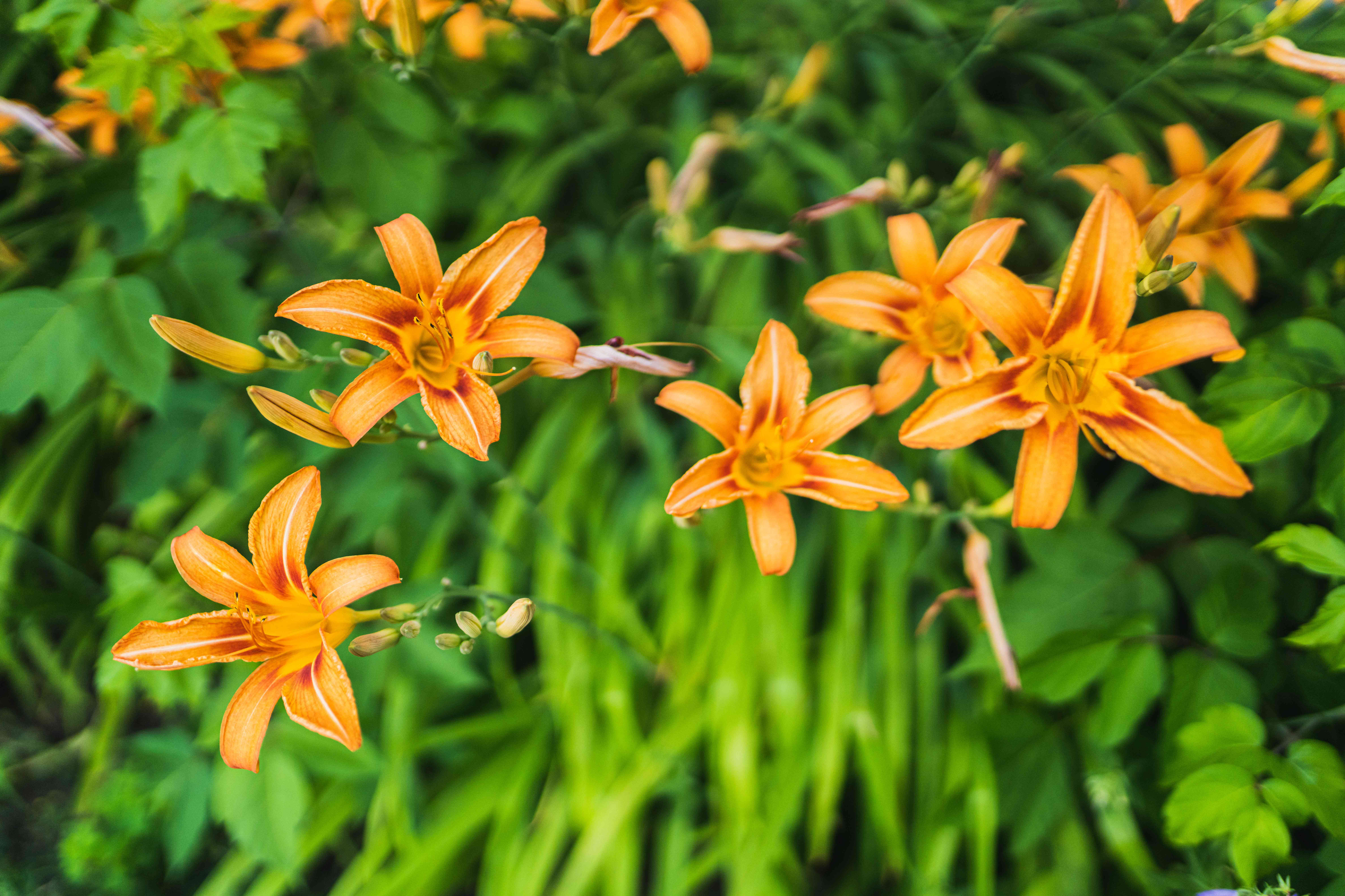 Orange daylily flowers with orange star-shaped petals on thin stems with buds