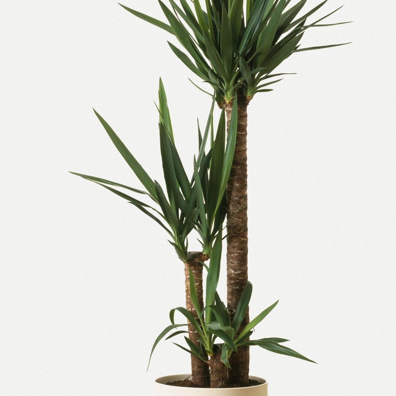 árbol de yuca sin espinas