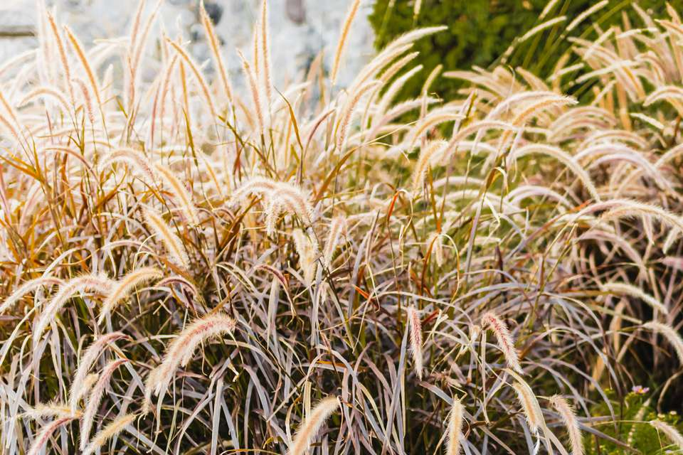 Fountain grass with yellow clumps