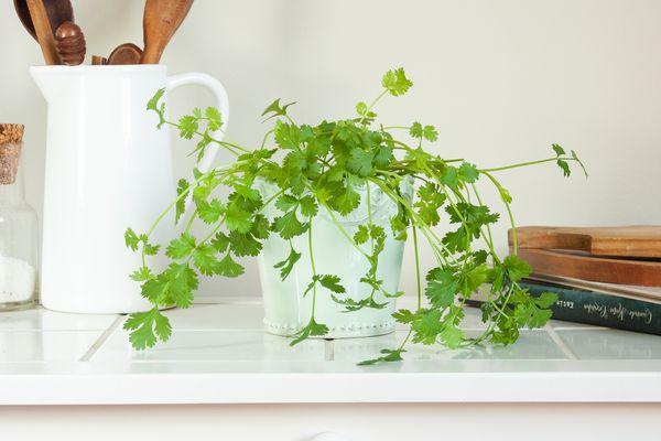 cilantro on a kitchen countertop