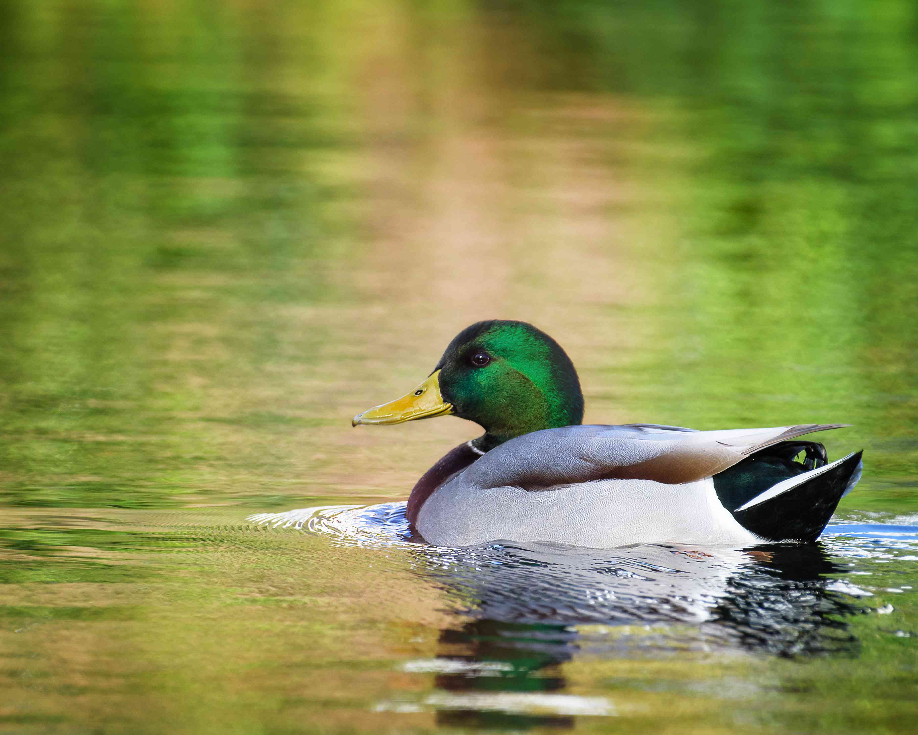 Beautiful Scenic View of Colorful Water and Mallard Duck