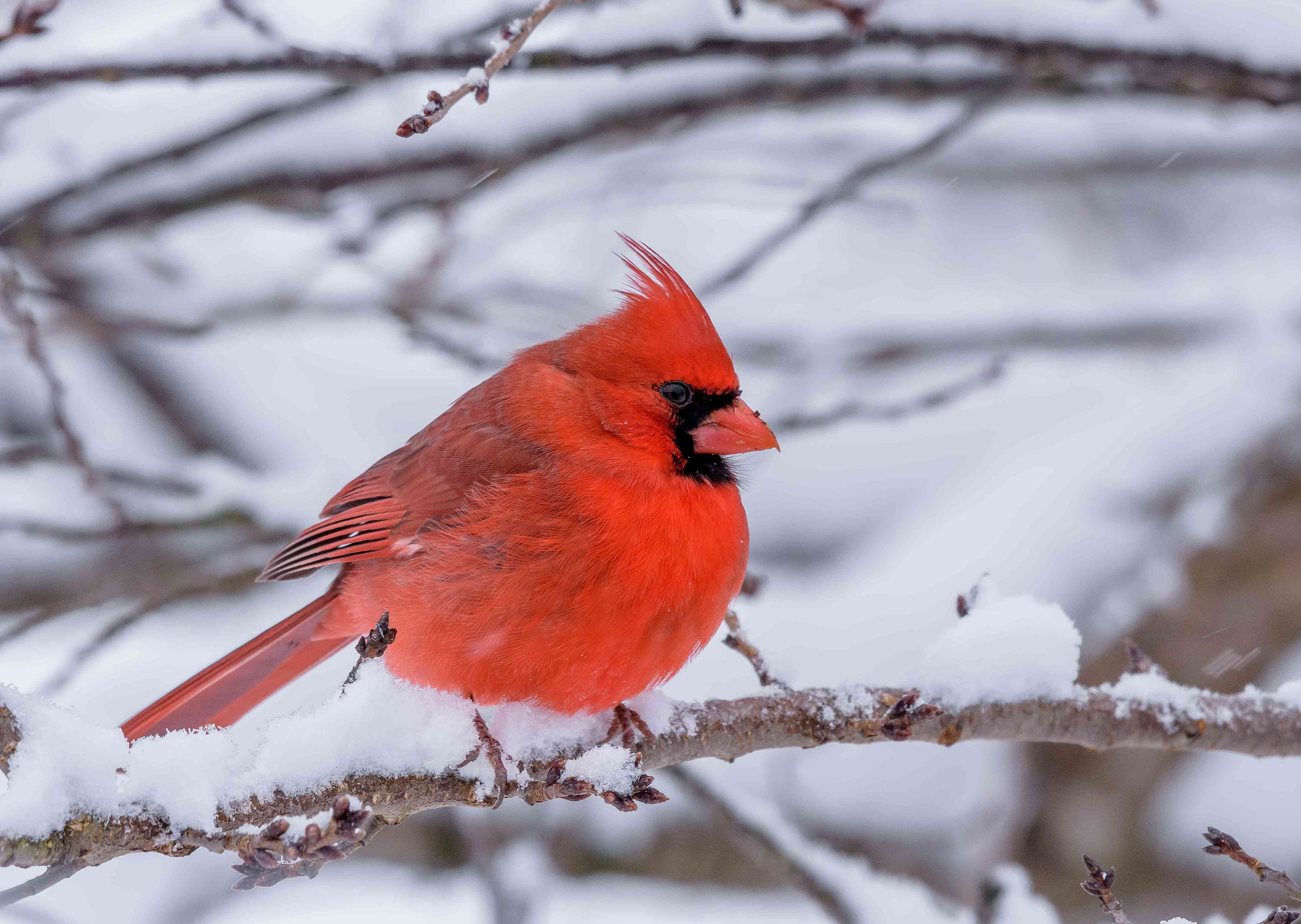 Male Cardinal perched during a snow storm