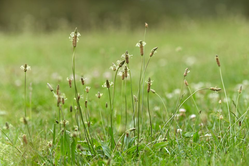 Plantain weeds with thin stems and small flower spikes in grass