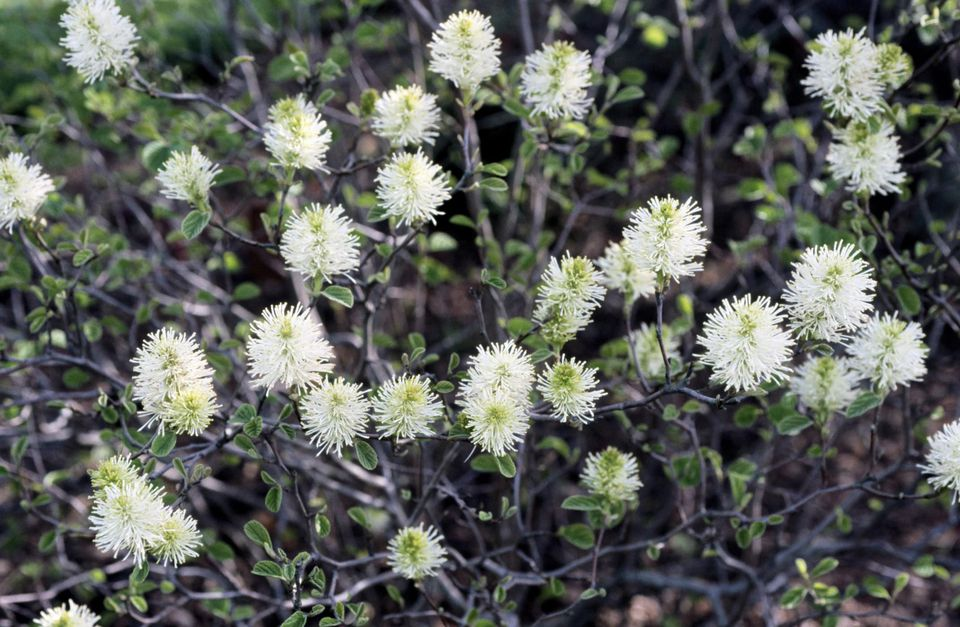 Dwarf fothergilla growing and in bloom.