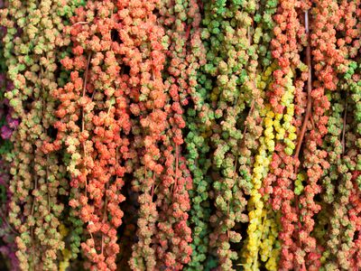 Colorful amaranth varieties