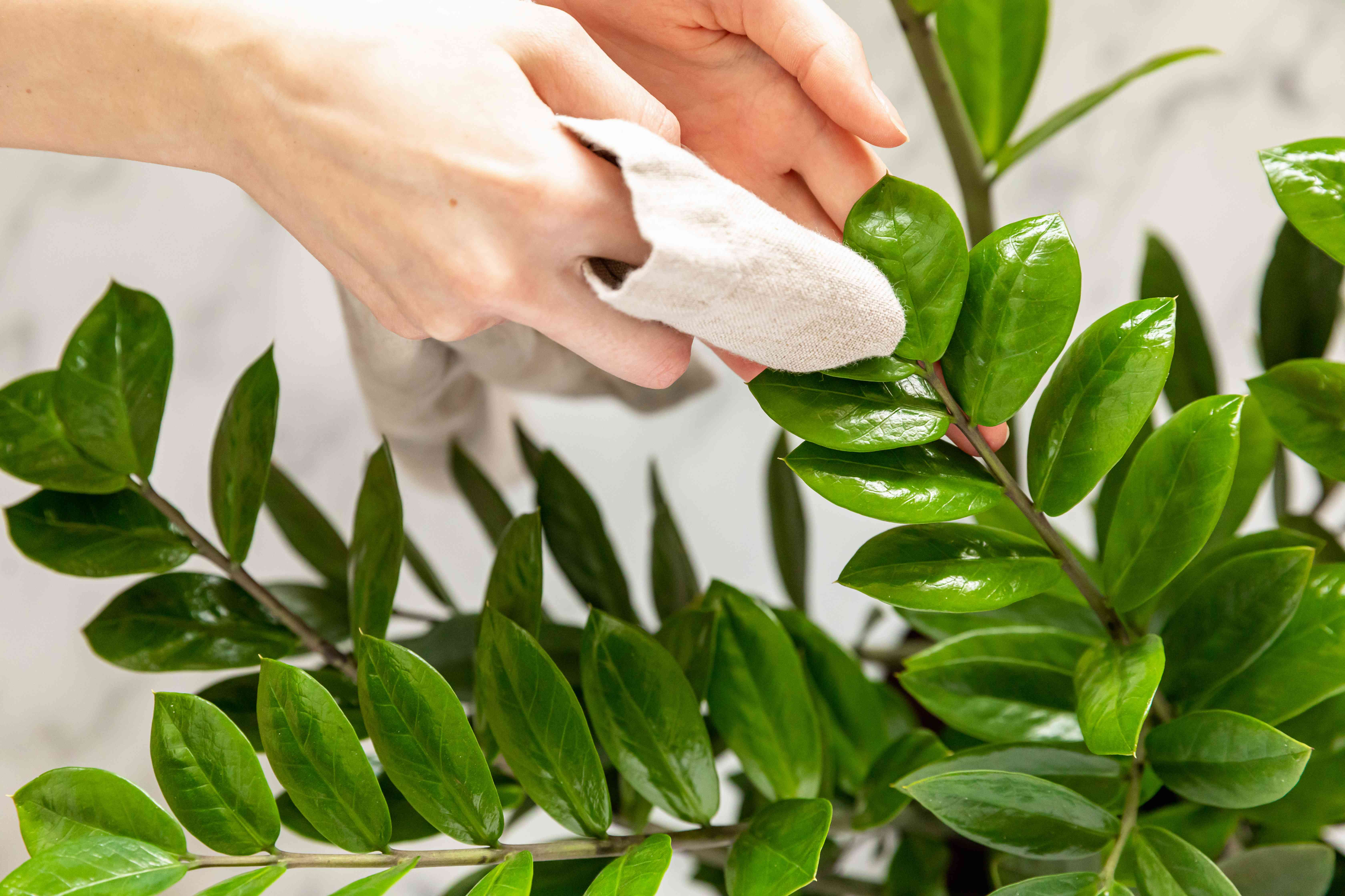 person wiping off plant leaves