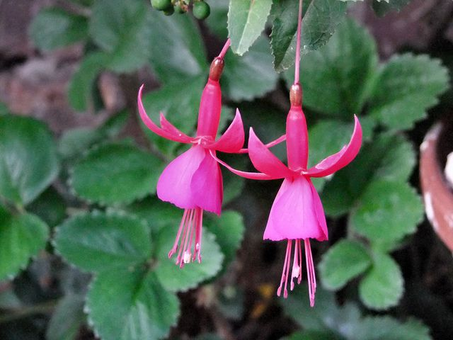 The exotic bell-shaped flower of the fuchsia makes it one of the best flowering houseplants.