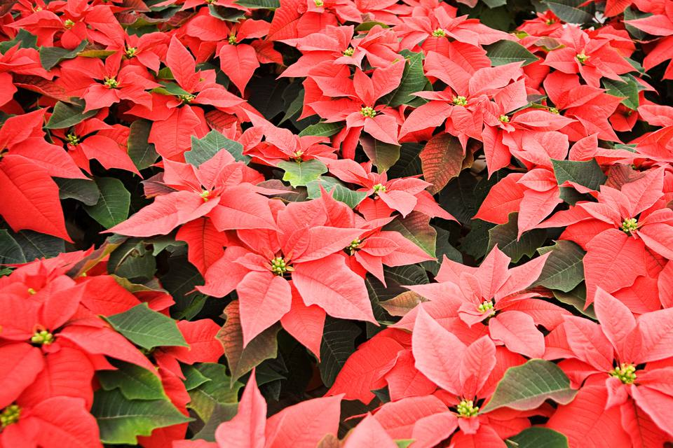 A close-up of poinsettia plants