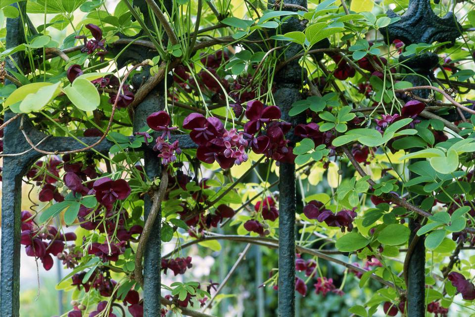 Chocolate vine (Akebia quinata) climbing over metal fence