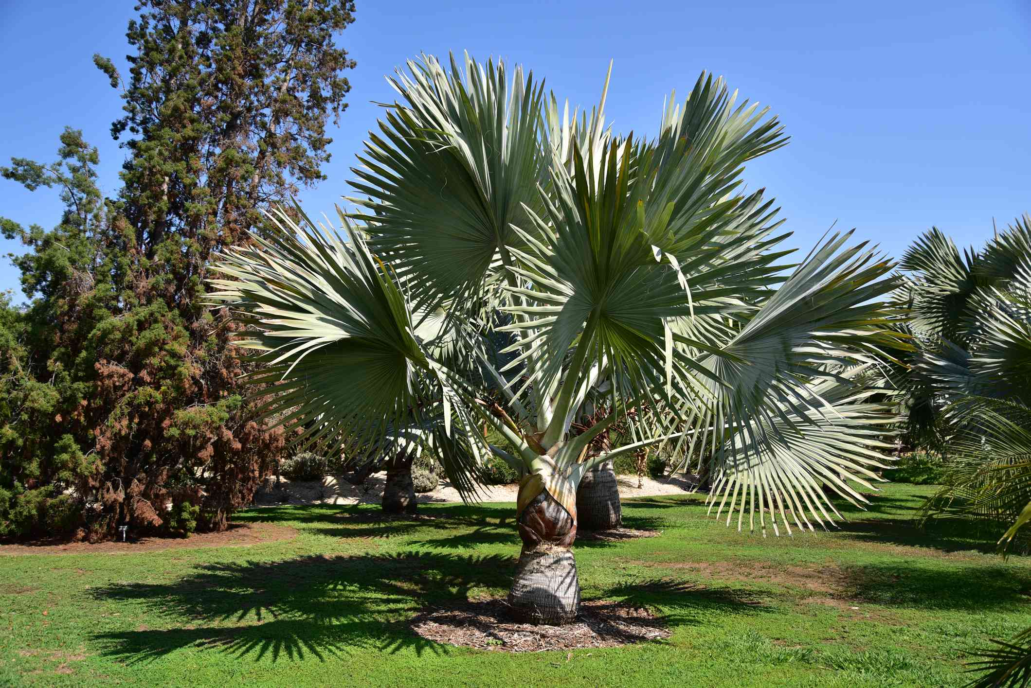 Bismark palm or Blue Palm tree