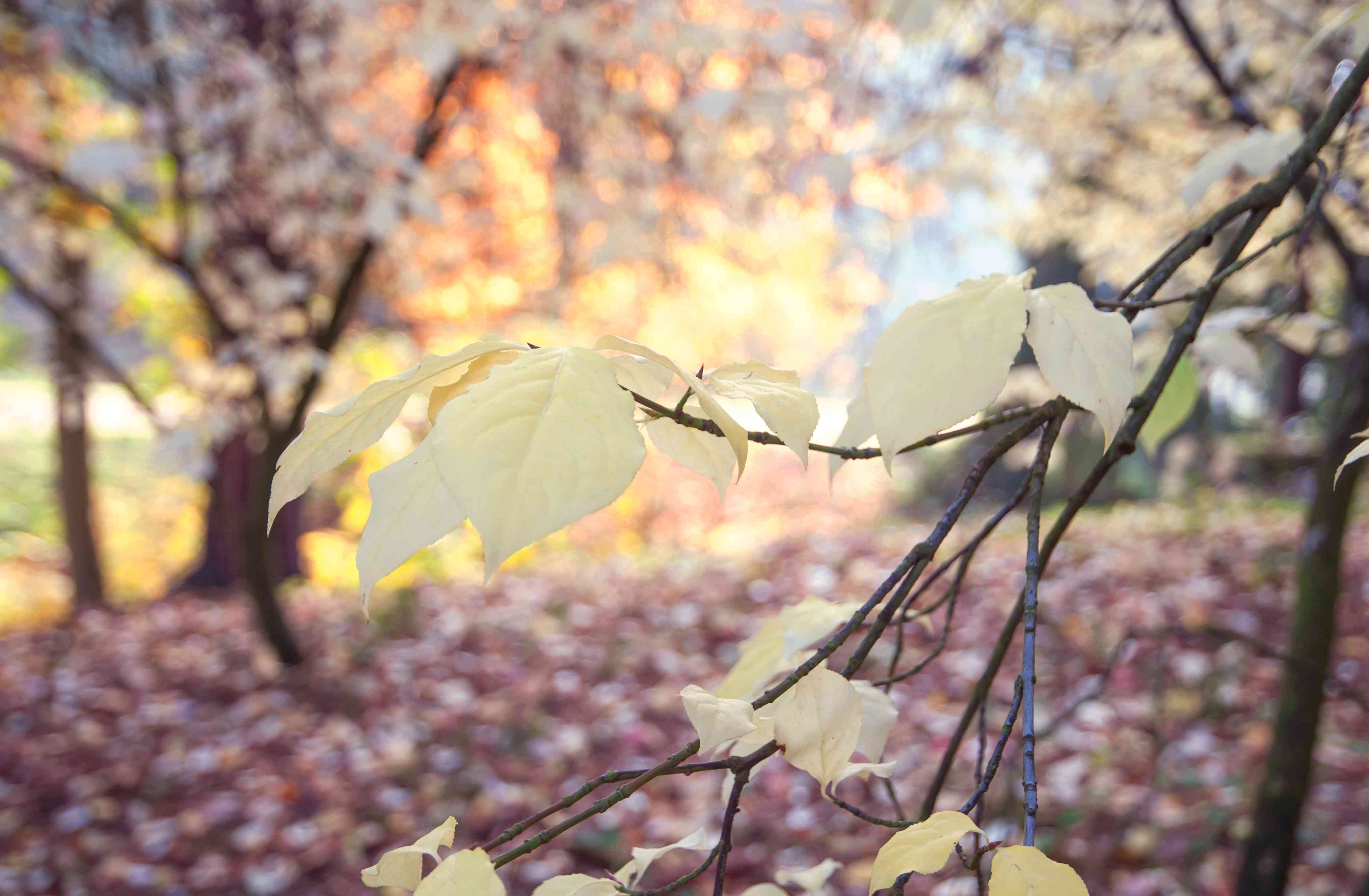 European spindle tree branch with several yellow leaves on branch