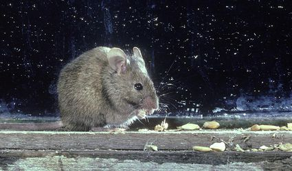 A house mouse against a wall