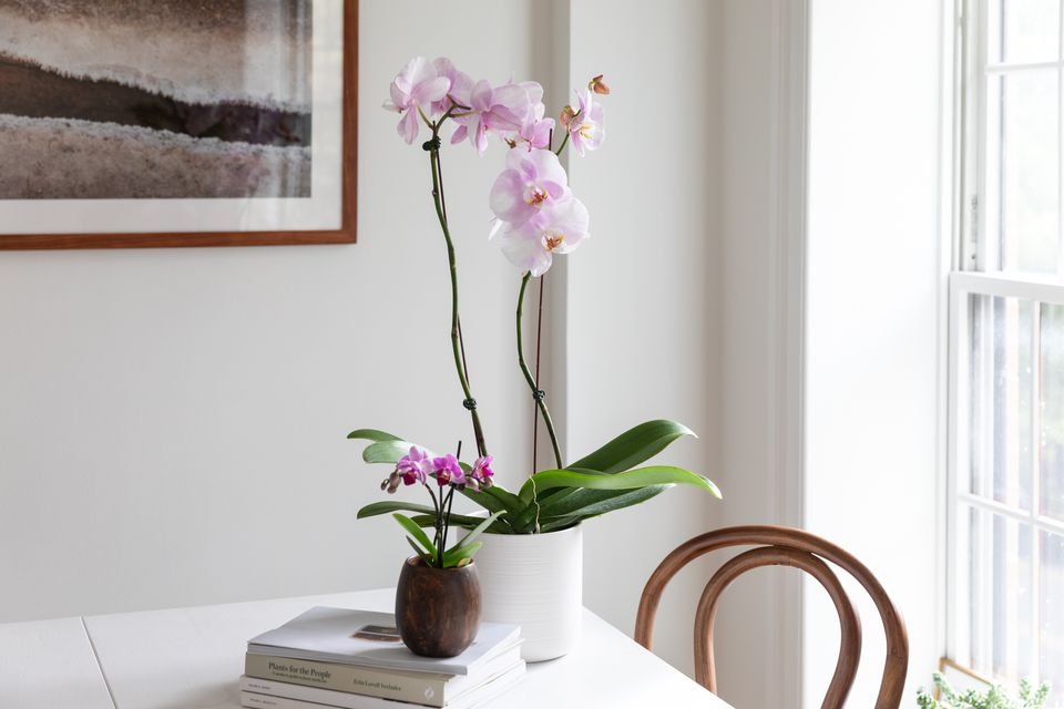 phalaenopsis orchids on a table