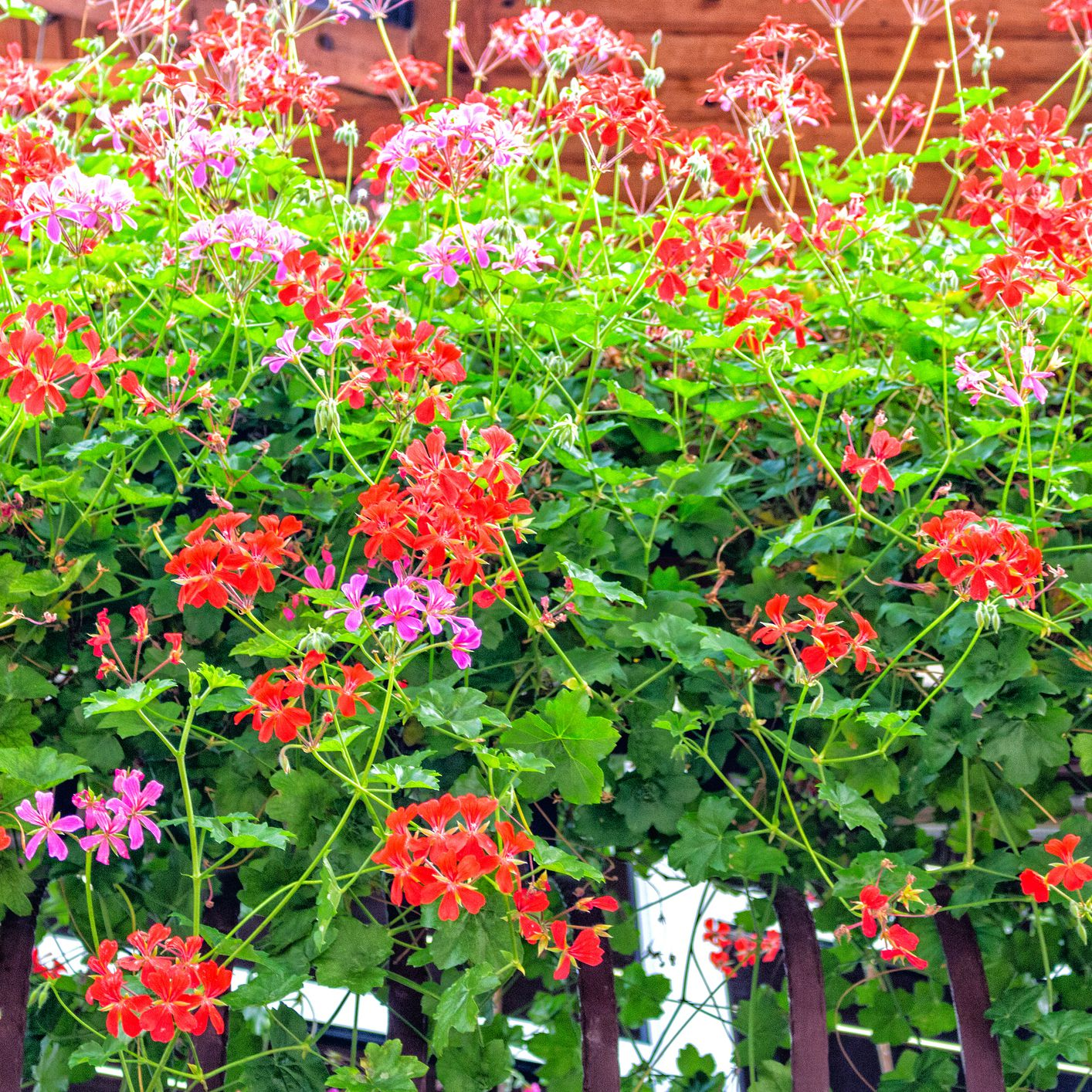 Ivy Geraniums Give Your Hanging Baskets More Bang for the Buck