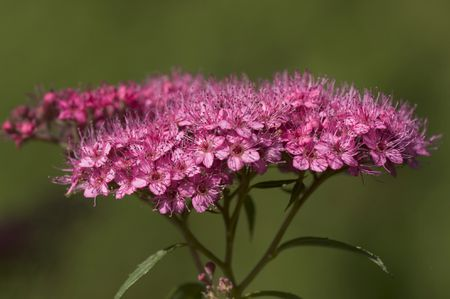 Best shrubs with pink or magenta flowers pink flower cluster of a japanese spirea shrub mightylinksfo