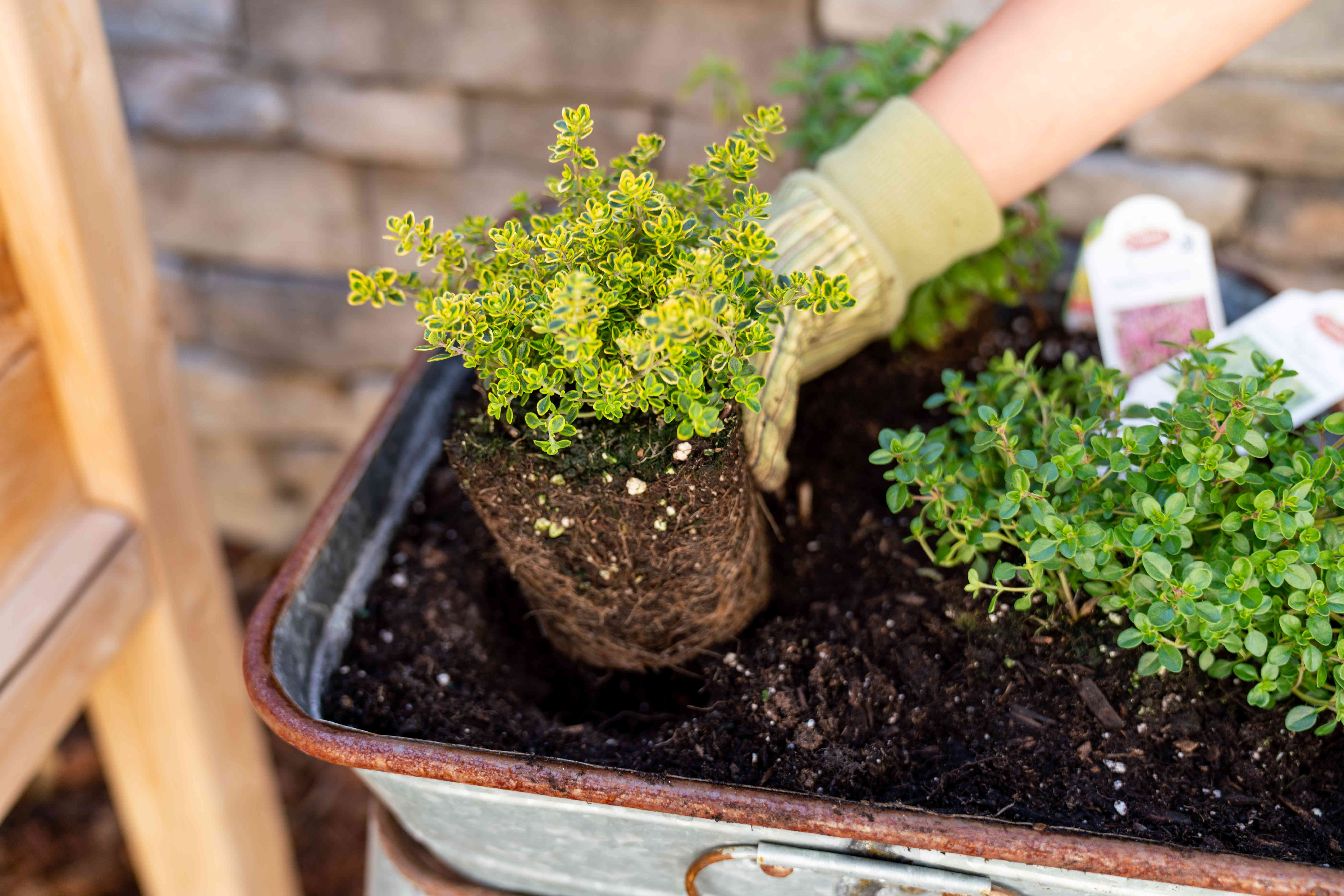 Thyme herb planted being planted in outdoor container