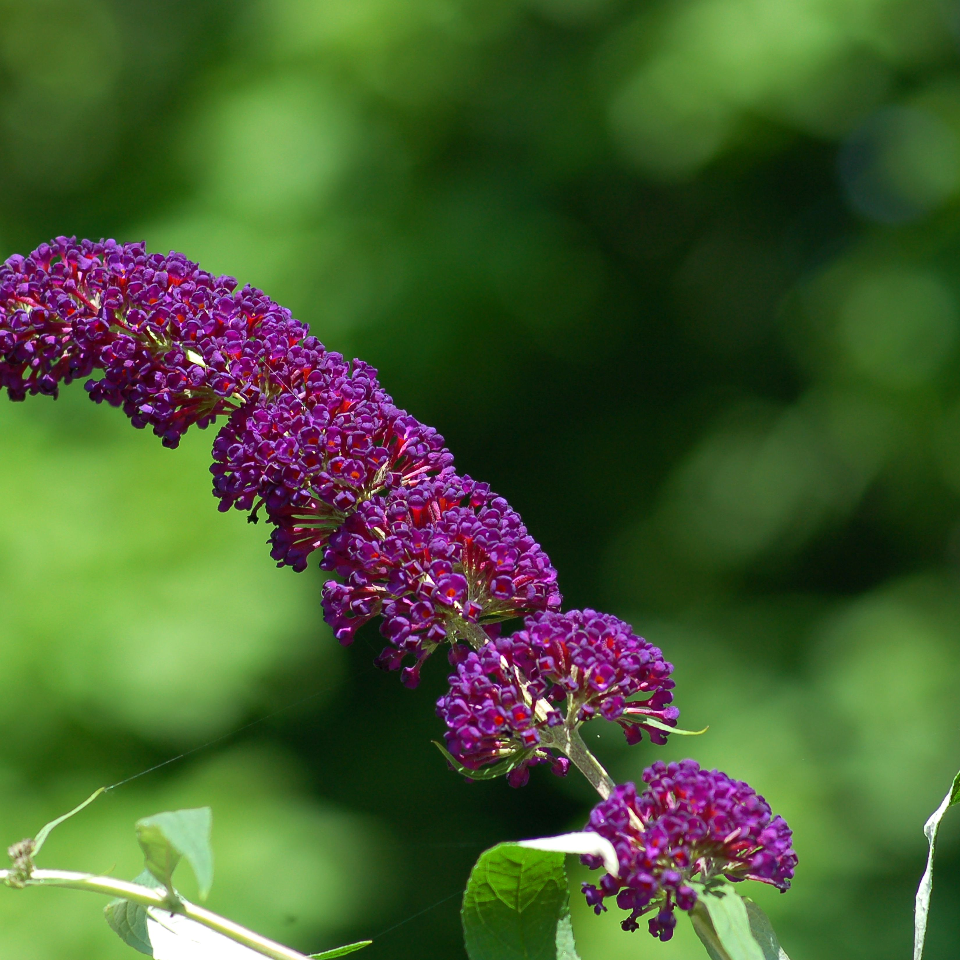 Which Butterfly Bush Is Right For Your Garden