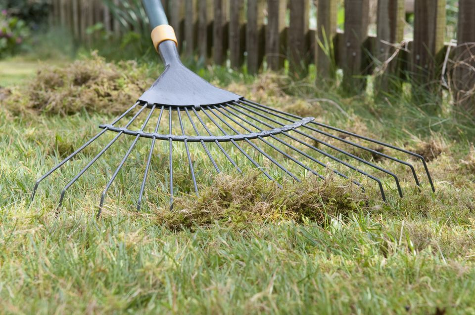 Scarifying garden lawn to remove moss using leaf rake