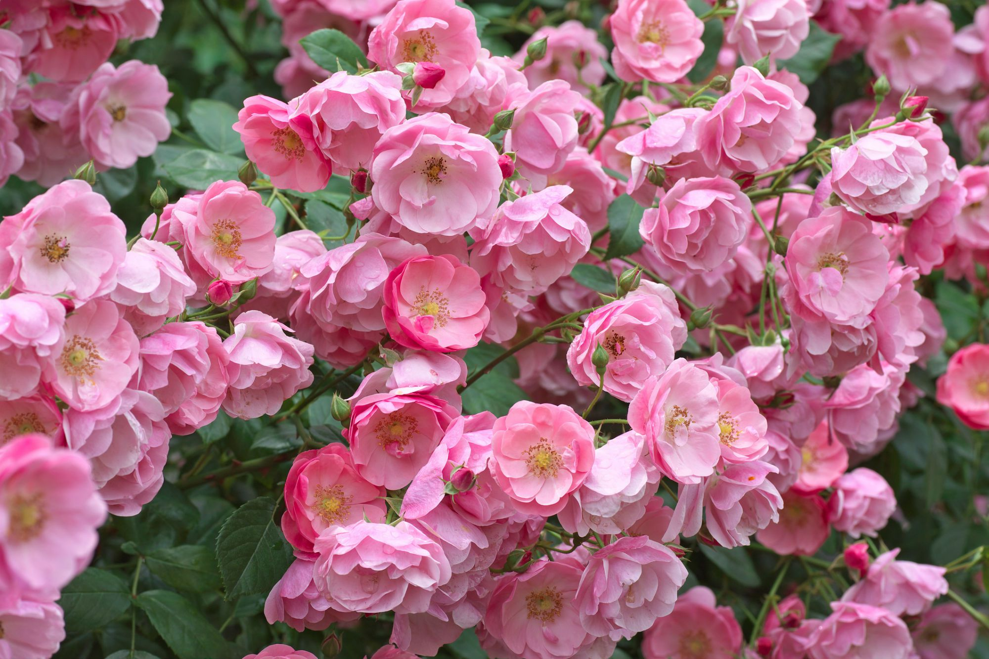 How To Prune And Train Climbing Roses
