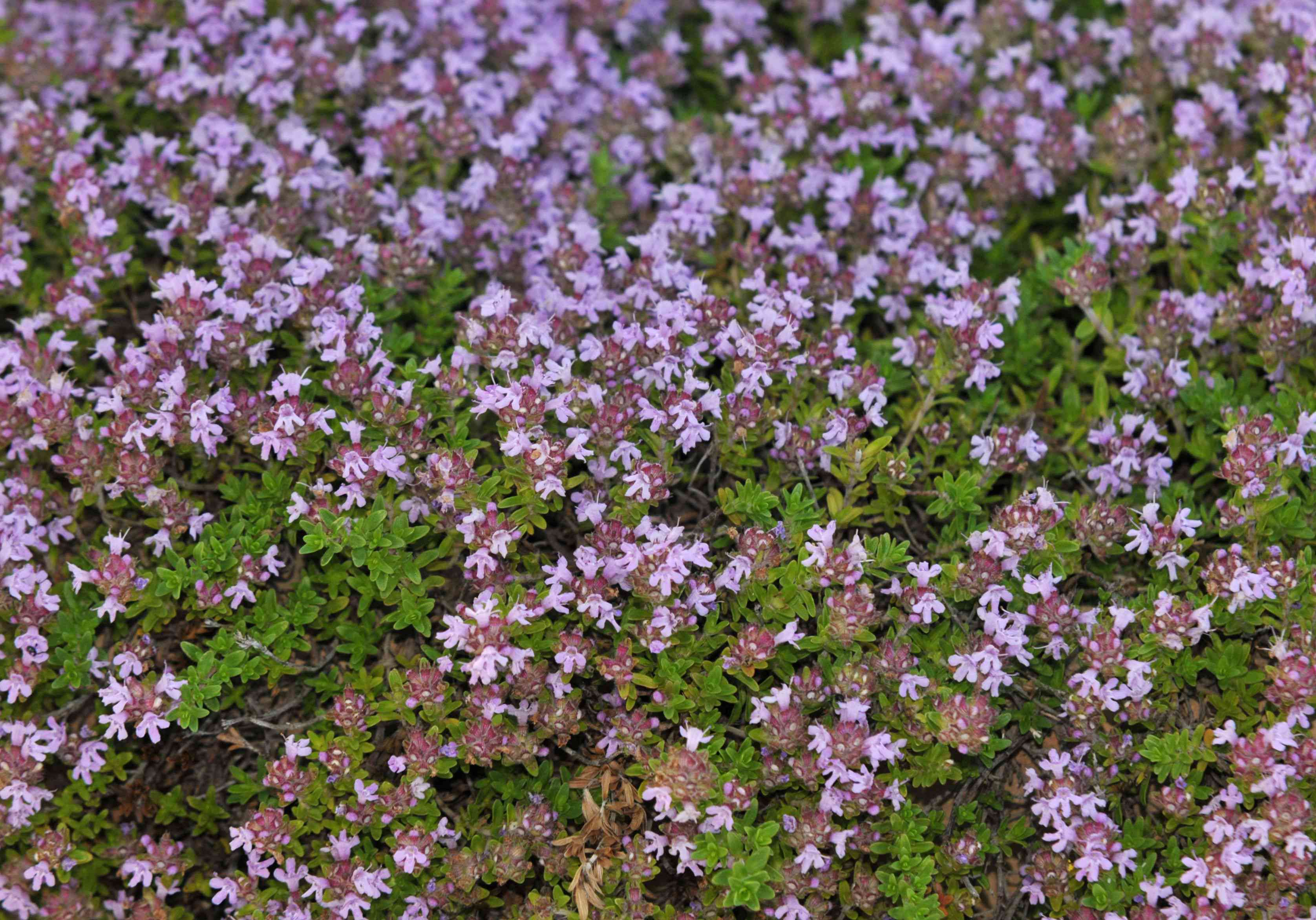 Creeping thyme plant with small pink flowers and leaves closeup