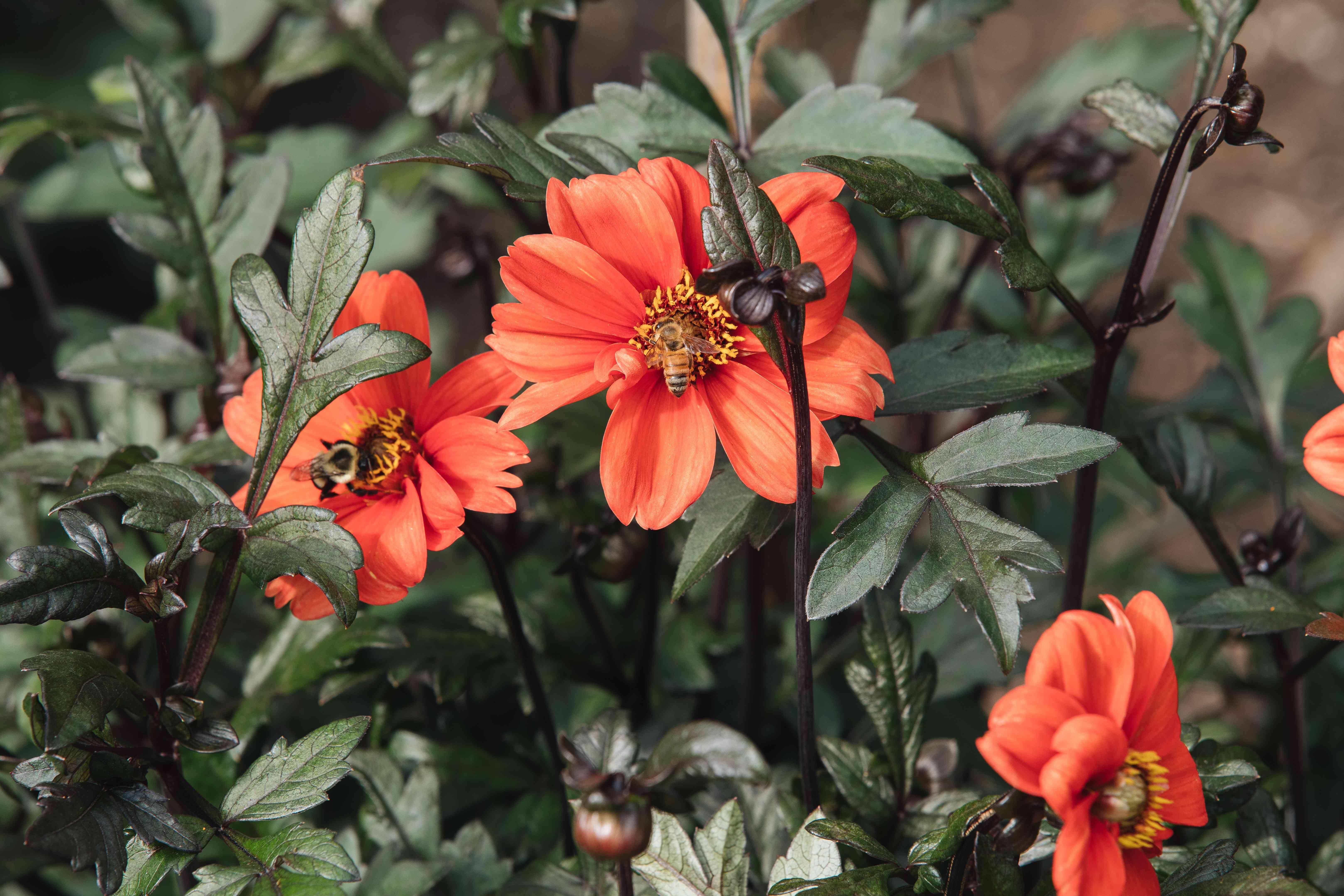 orange daisy-like dahlias