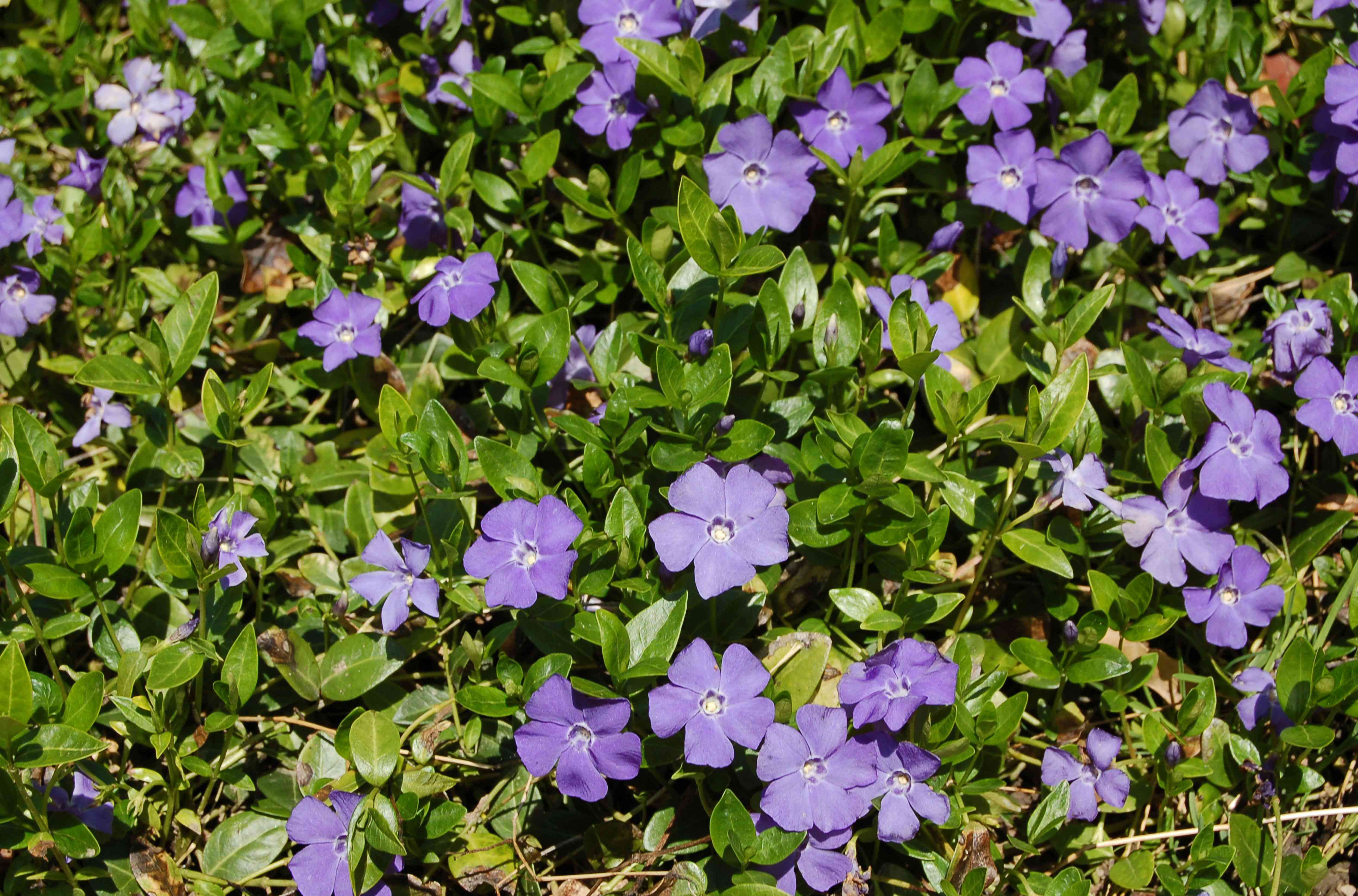 Vinca minor plant with small purple flowers between leaves in sunlight