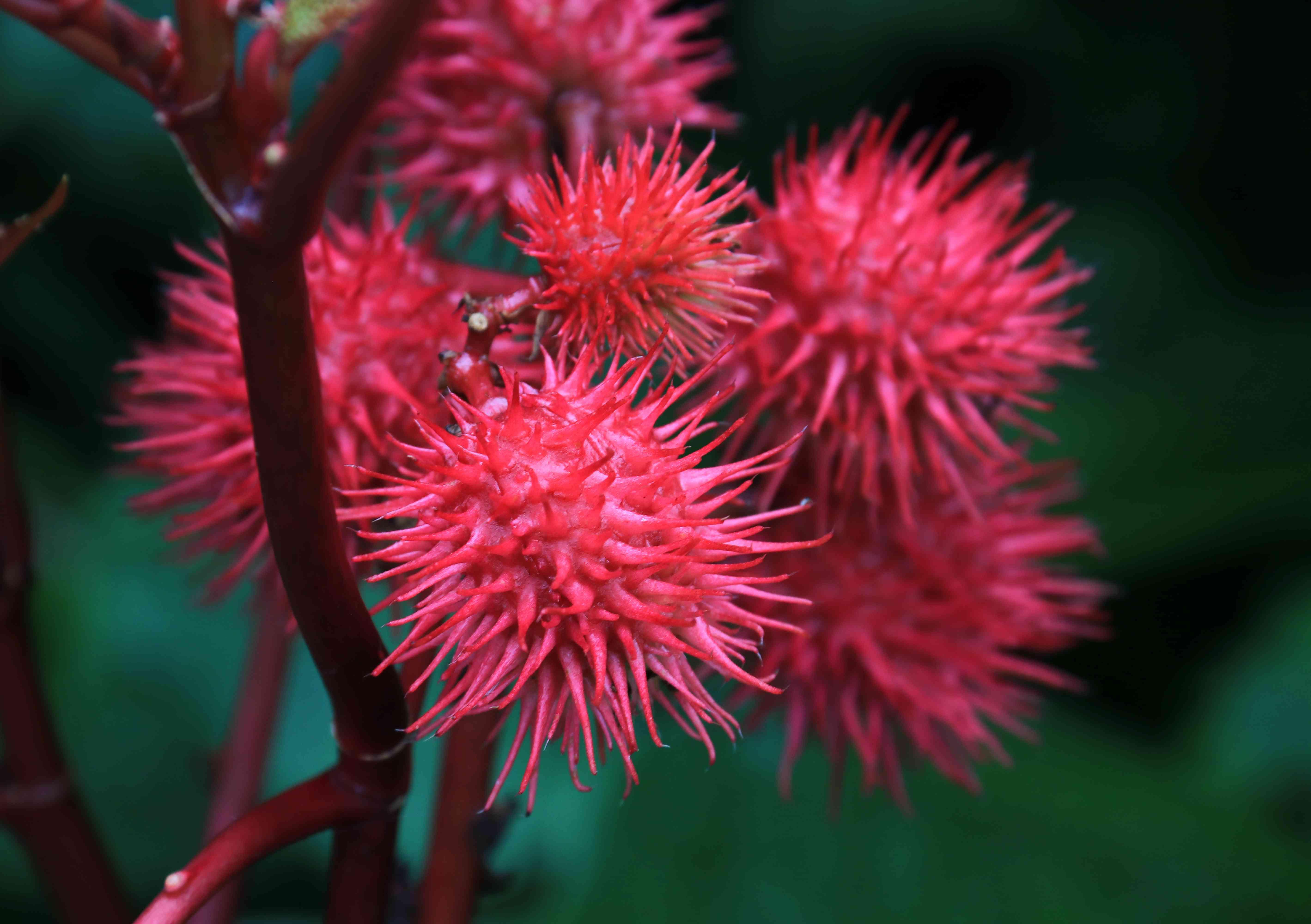 Frutos de la planta Ricinus Communis o planta de ricino o planta de aceite de ricino