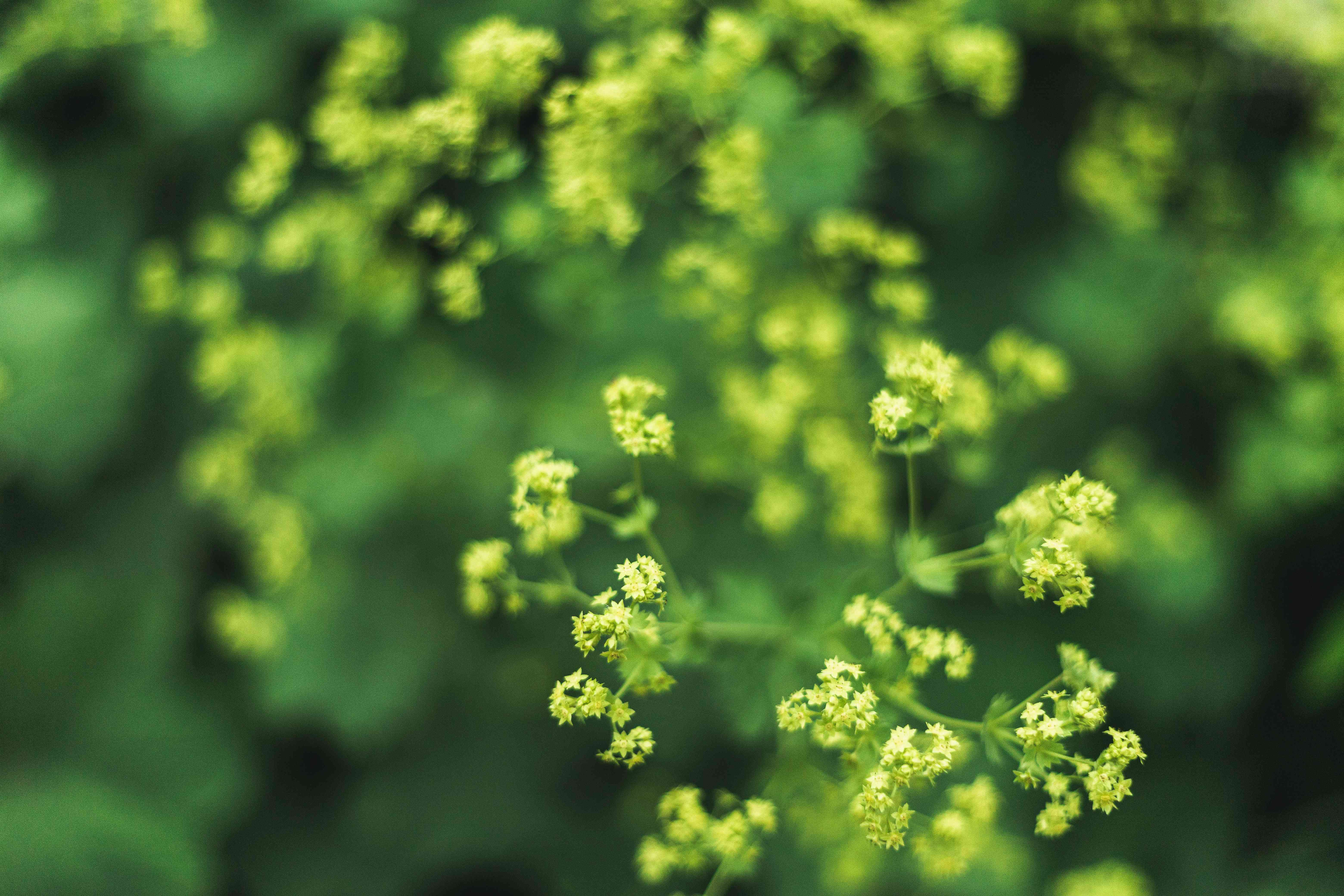 flowers on lady's mantle