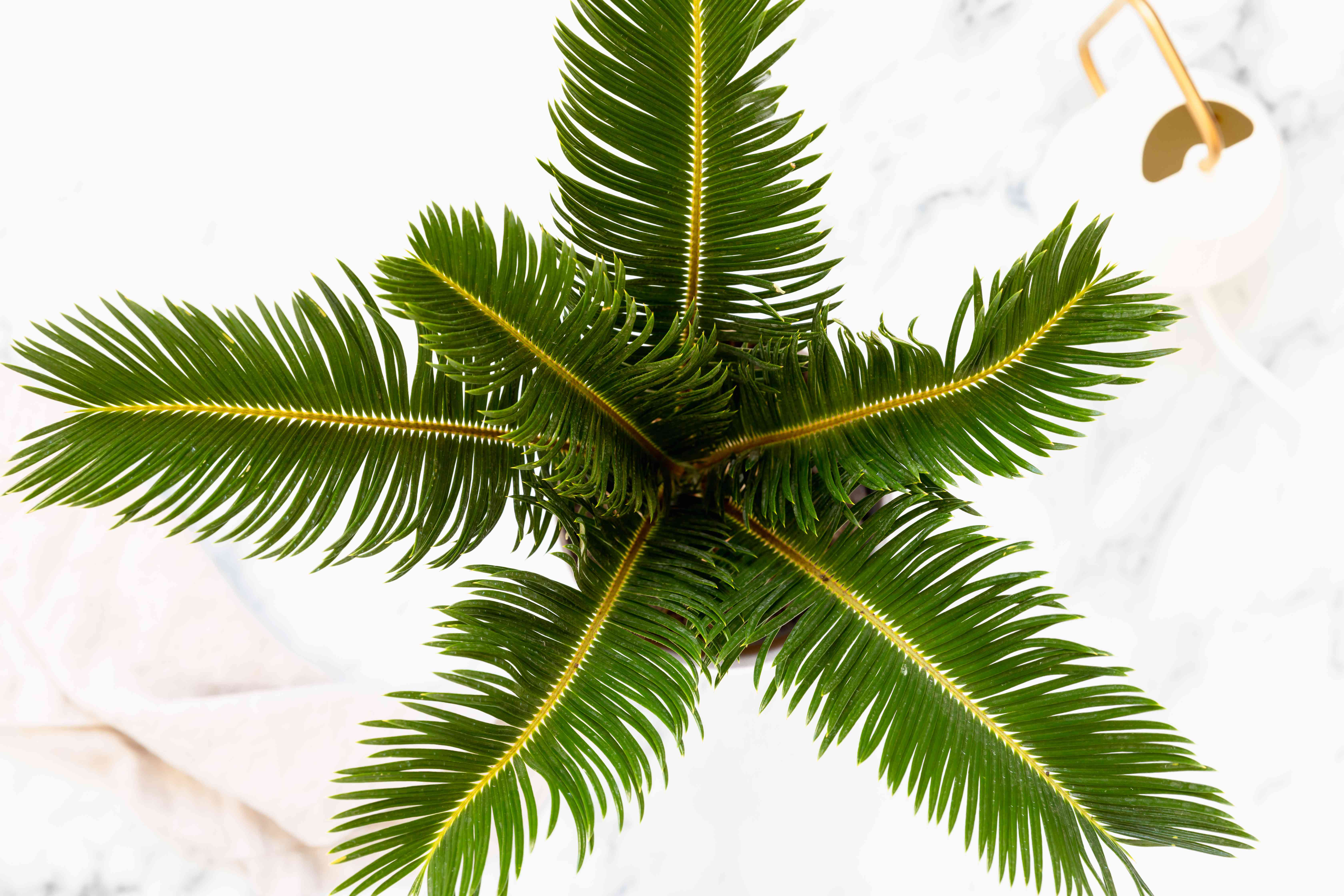 overhead view of a sago palm