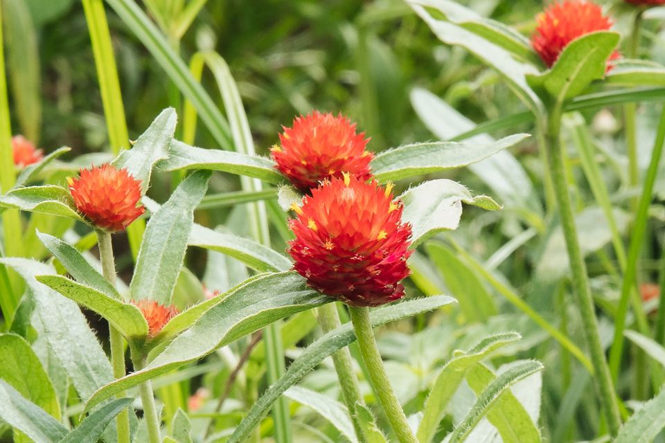 closeup of globe amaranth