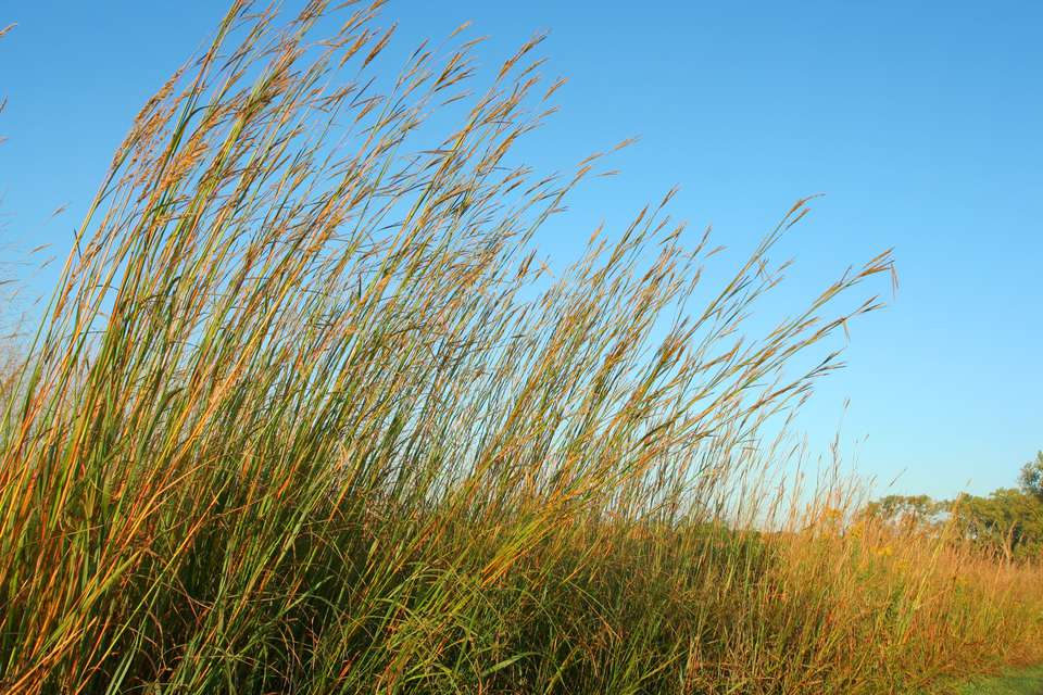 Big bluestem tall grass (Andropogon gerardi) in a prairie.