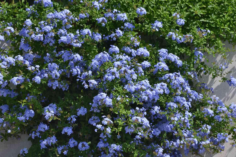 leadwort bush
