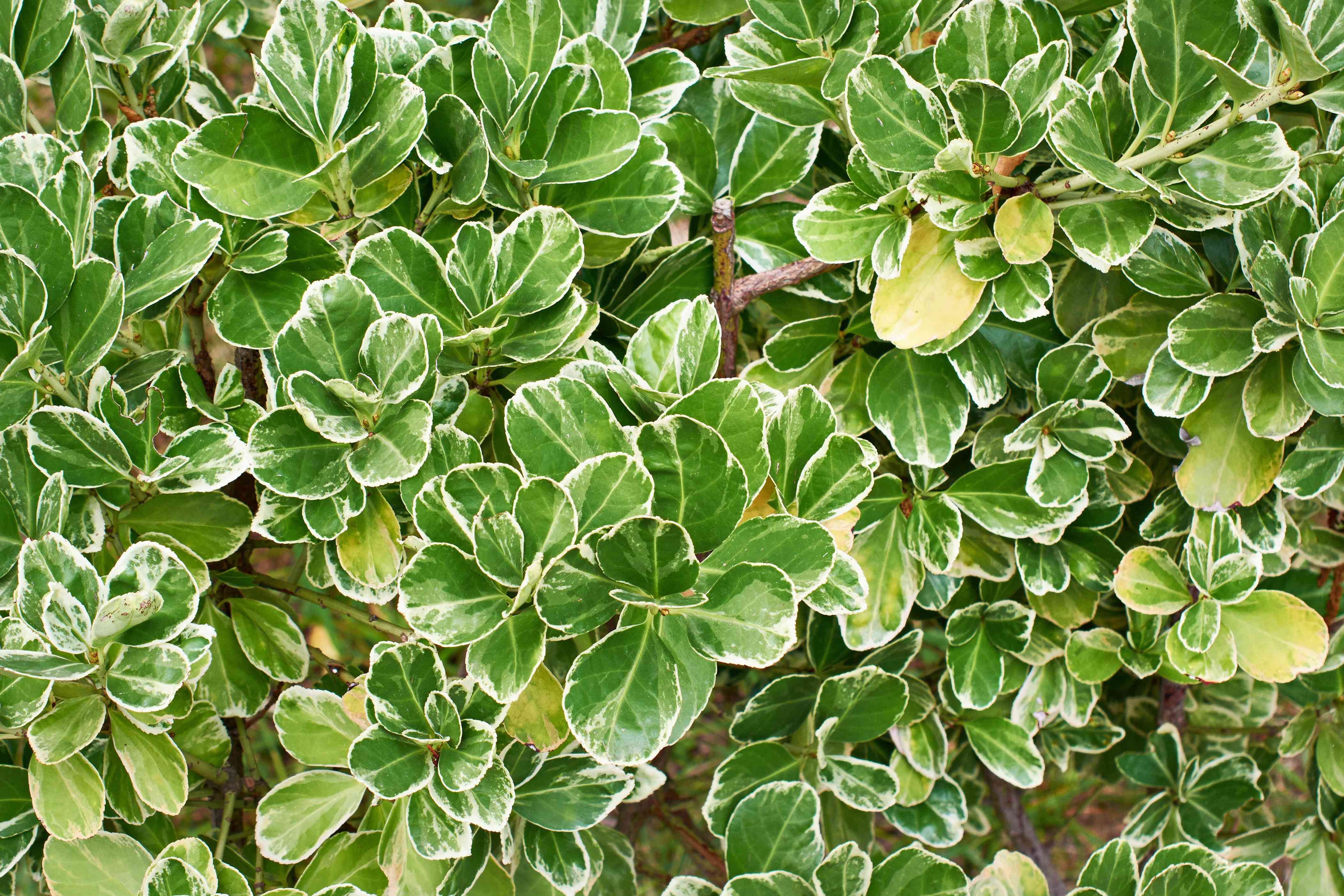 Leaves of plants Emerald Gaiety Euonymus