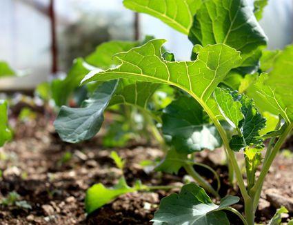Zucchini Companion Planting