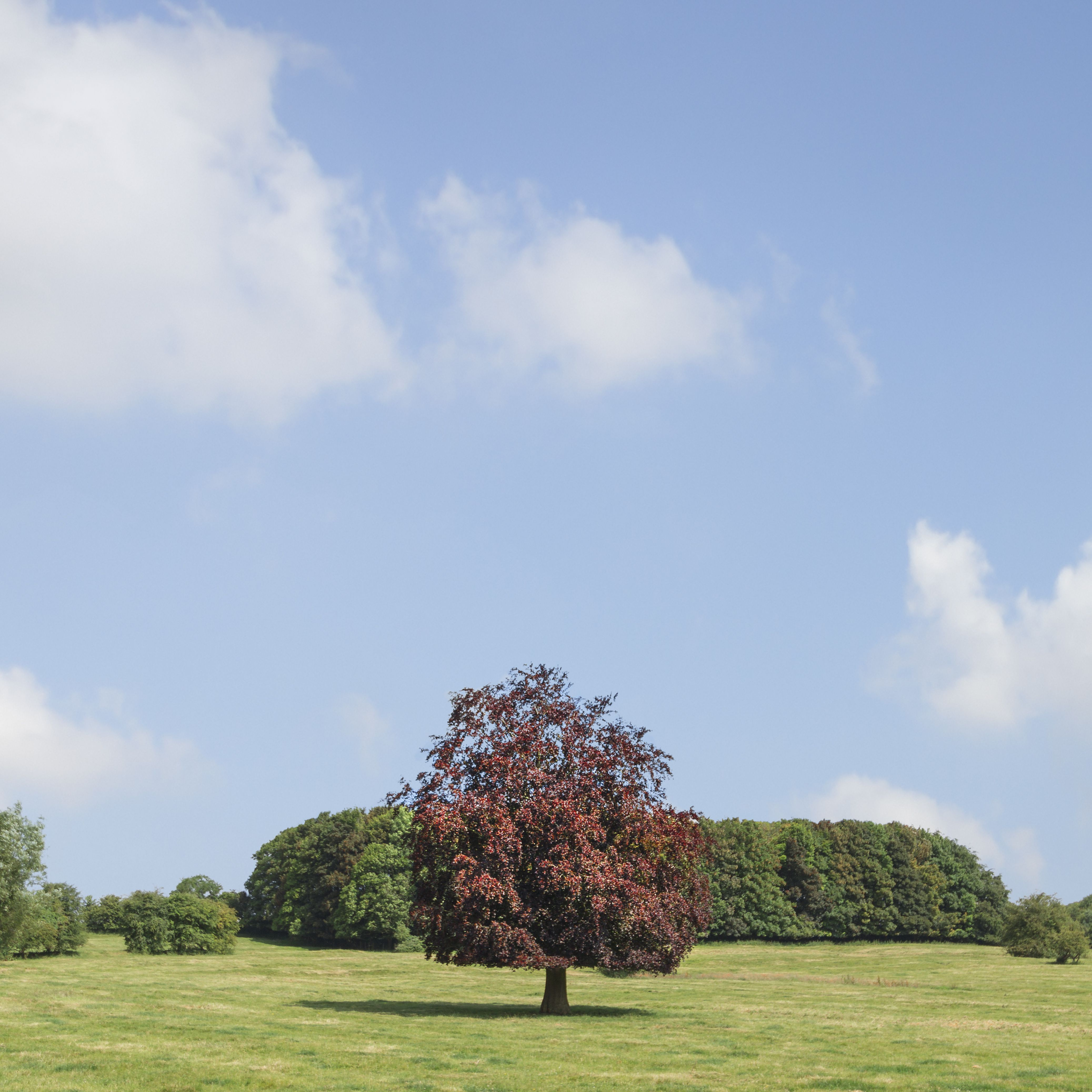 Copper beech tree (Fagus sylvatica).