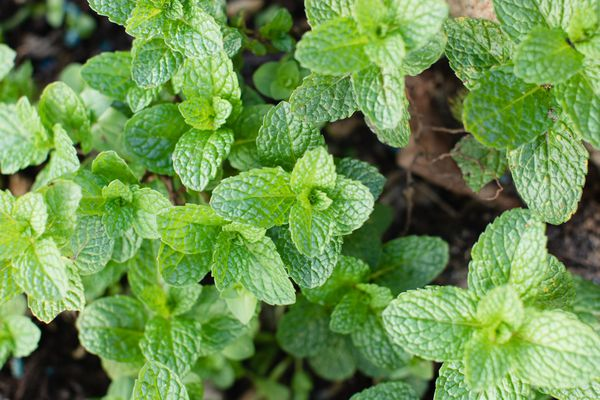 Mint herb plants with small veined leaves closeup