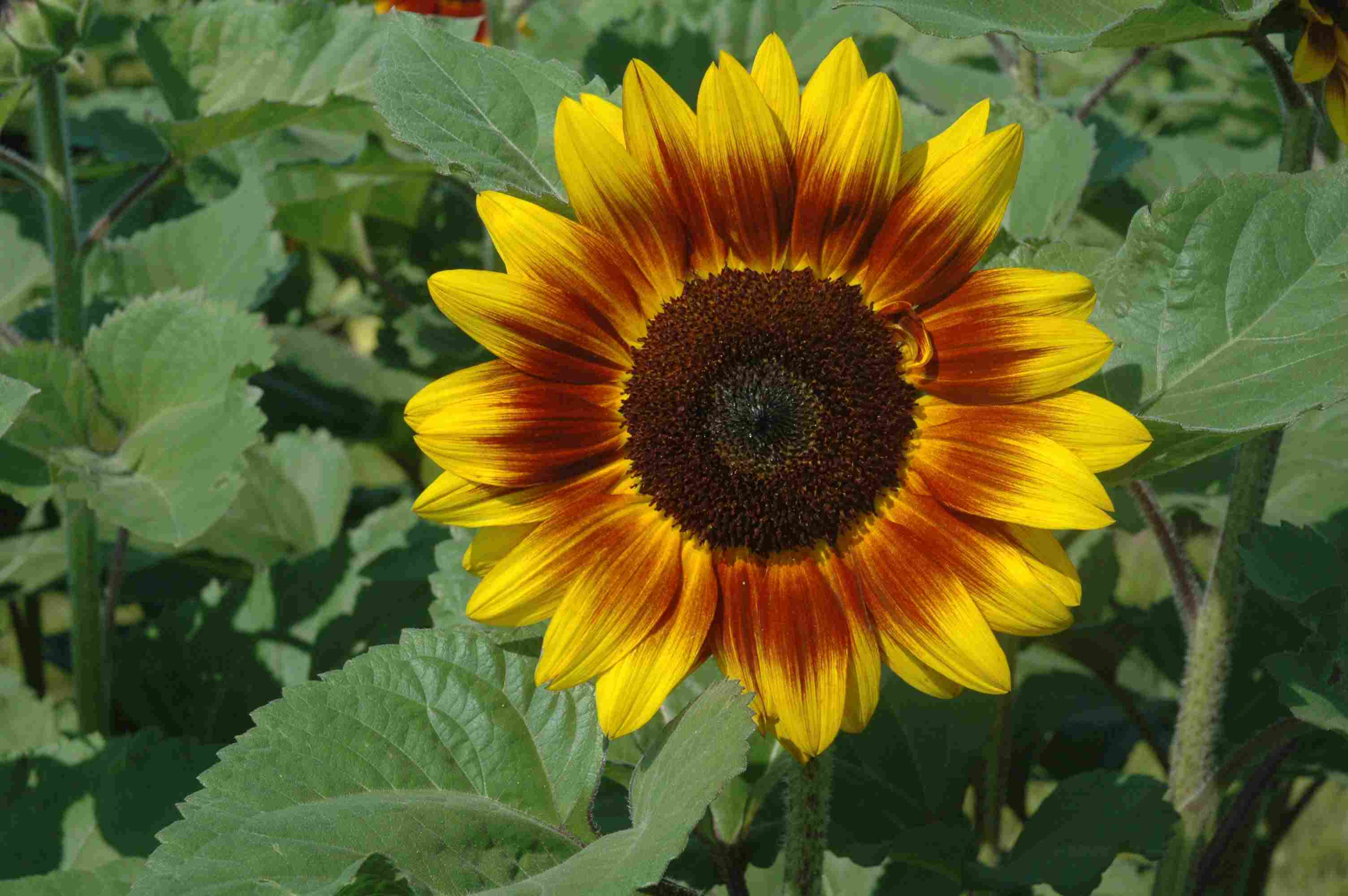 Helios Flame Sunflower