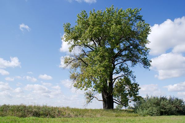 A lone Eastern Cottonwood in on the midwestern prairie