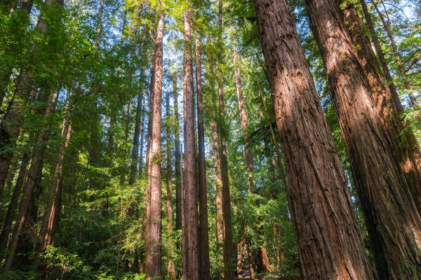 Stand of coast redwoods near the San Francisco Bay.
