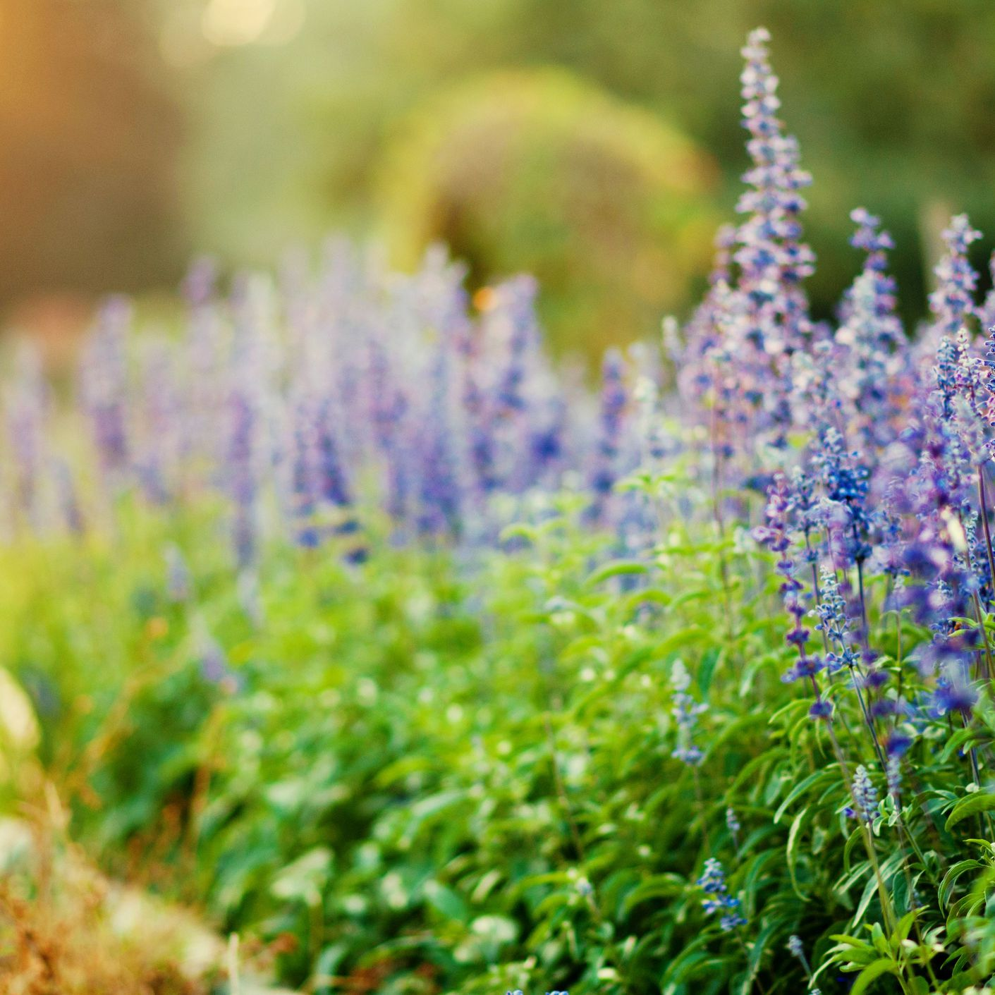 How To Grow And Care For Victoria Blue Salvia