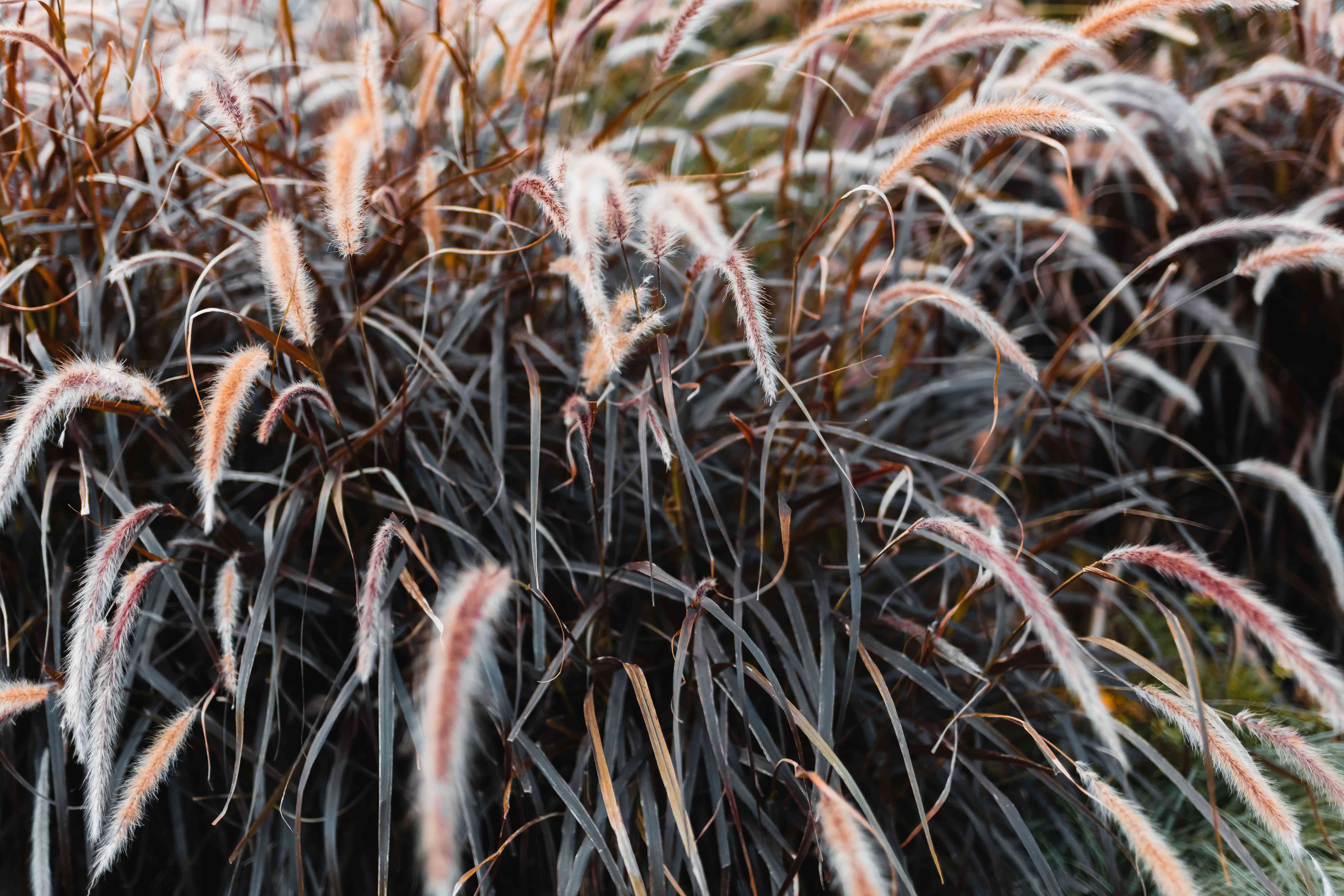 Purple fountain grass with arcing, slender, burgundy-colored leaves with tan fuzzy seed plumes