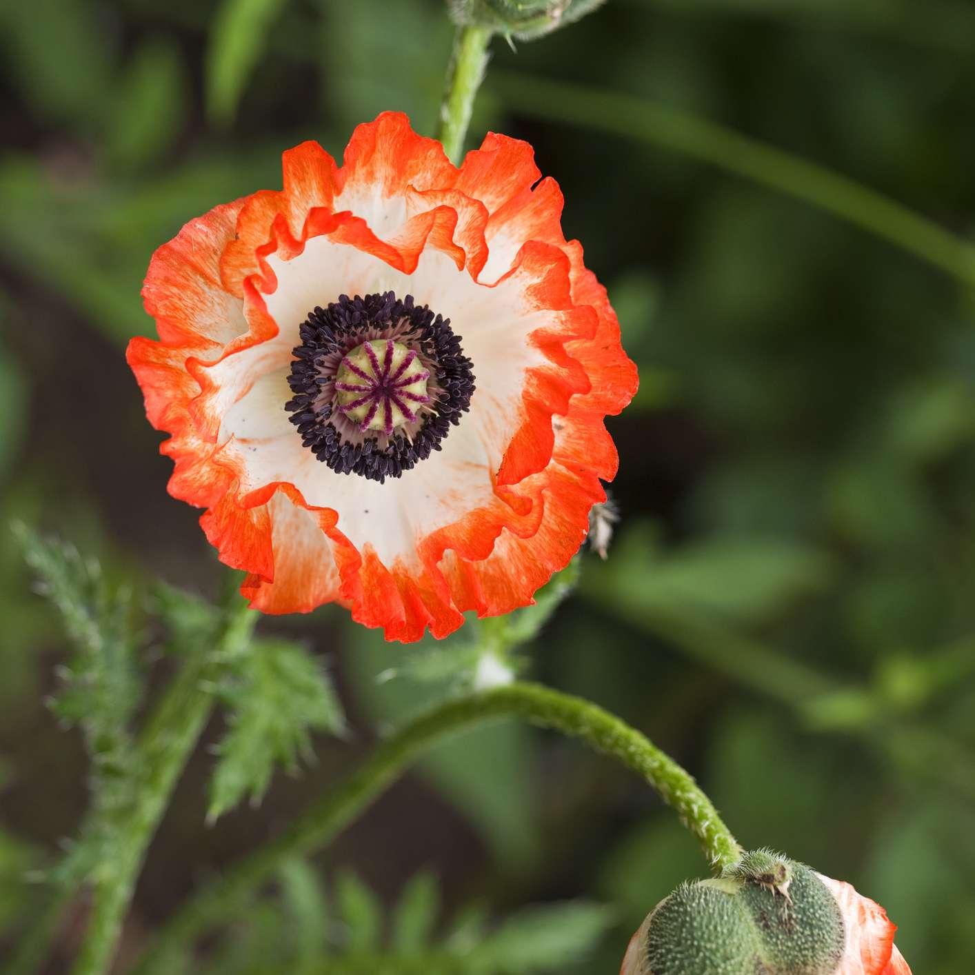 Picotee Poppy