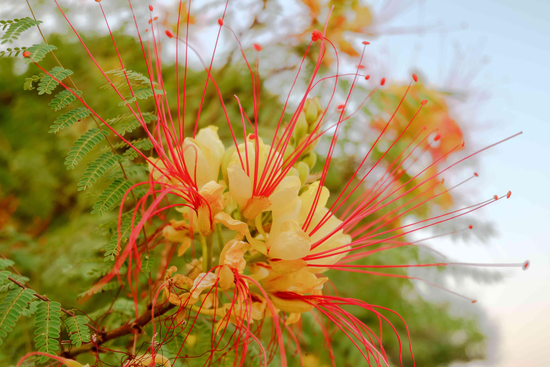 Caesalpinia gilliesii, common name - Bird of Paradise flower