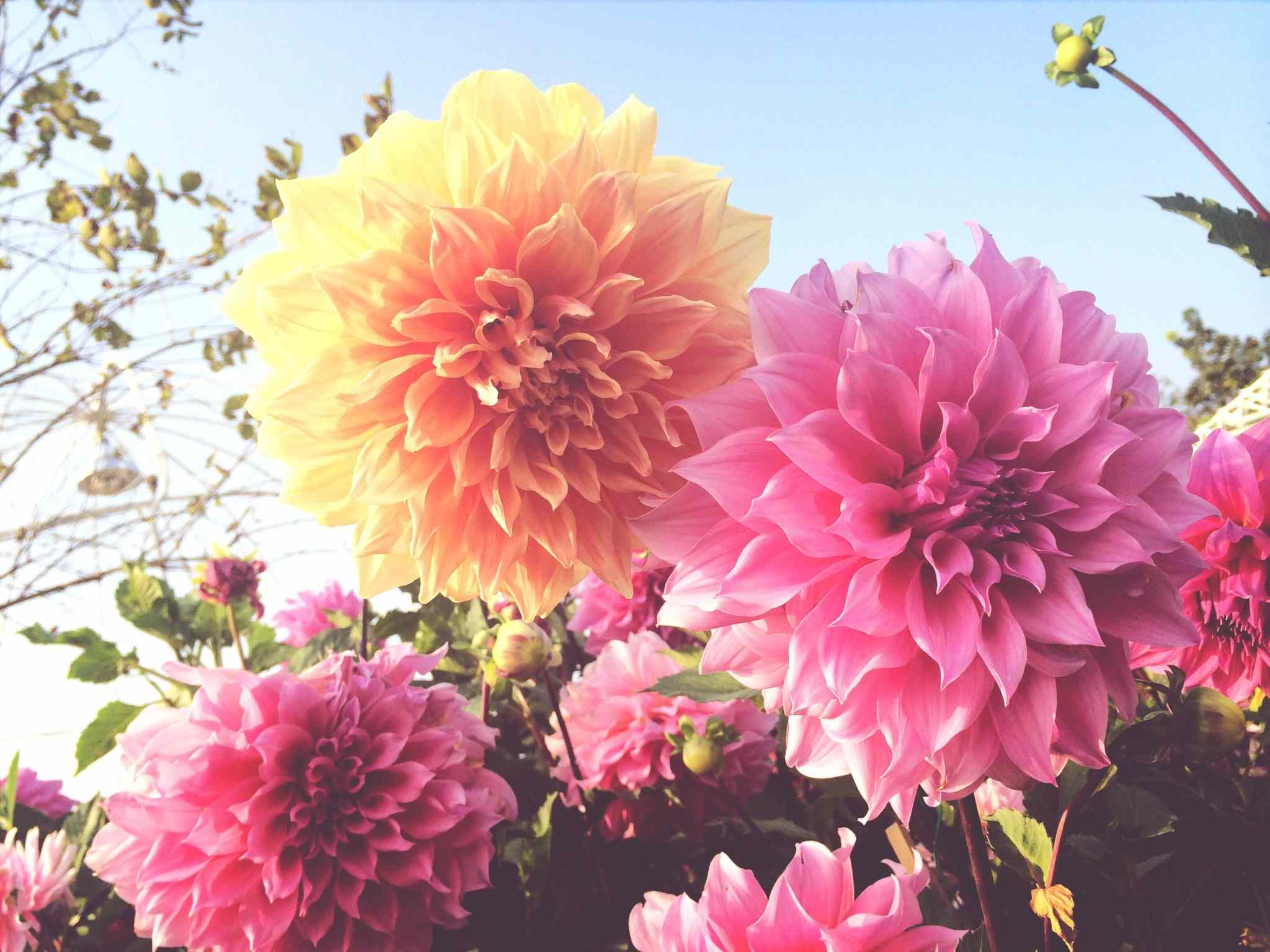 How To Grow Dahlias In Pots