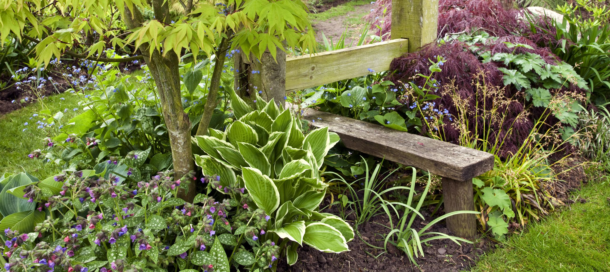 Lungwort and hostas used in a border
